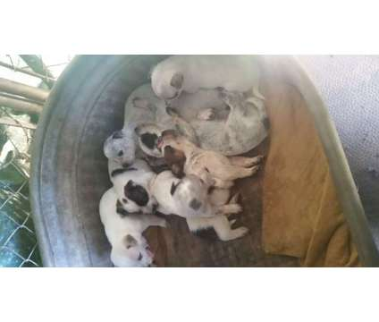 Queensland heeler puppies