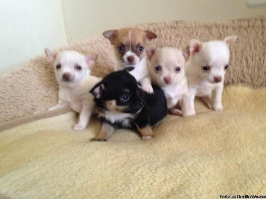Pure Breed Chihuahuas