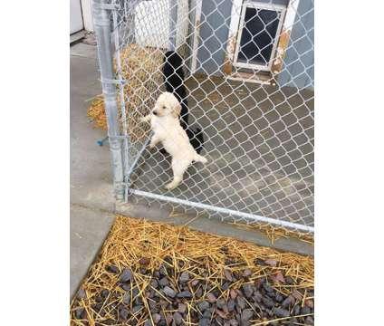 Standard Poodles Full AKC Registration