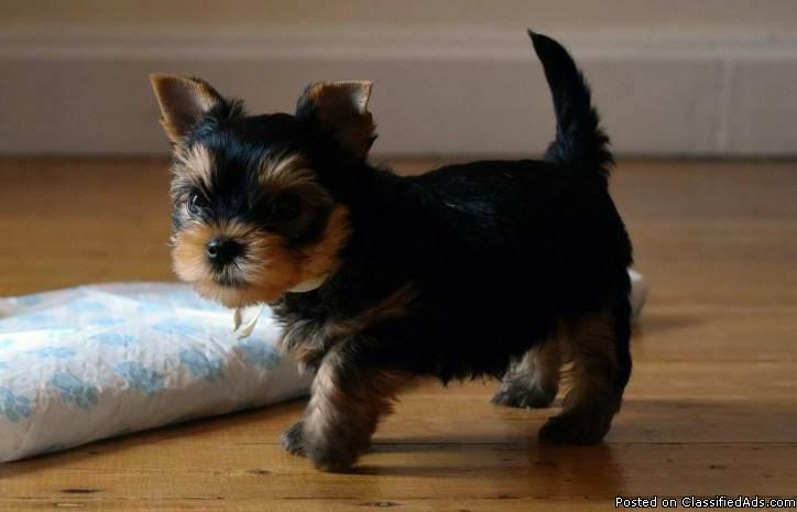 Potty Trained Teacup Yorkie Puppies