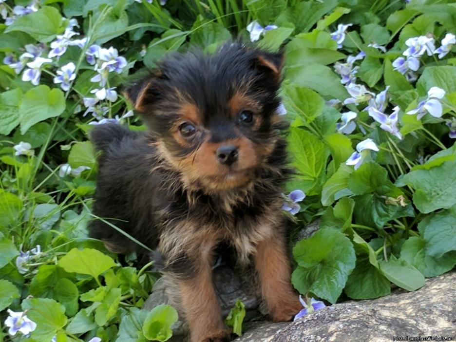 1 Small Registered Female Yorkie, Yorkies, Yorkshire Puppy left