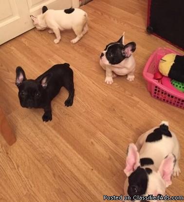 nytyf French Bulldog Babies ready to go