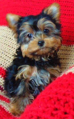 TEDDY BEAR YORKIE-HAVANESE (Havayork) pups!!