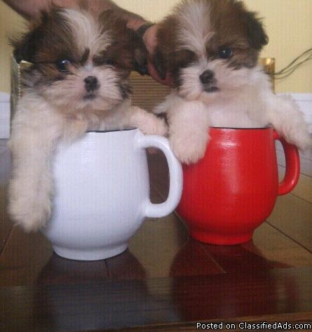 Females Shihtzu Toy & Teacup Puppies