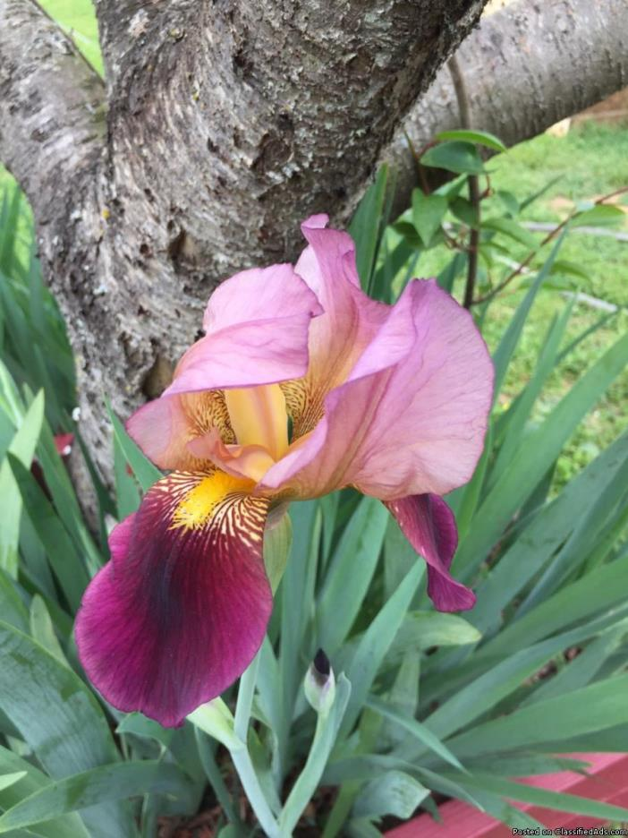 Indian Chief Iris bulbs