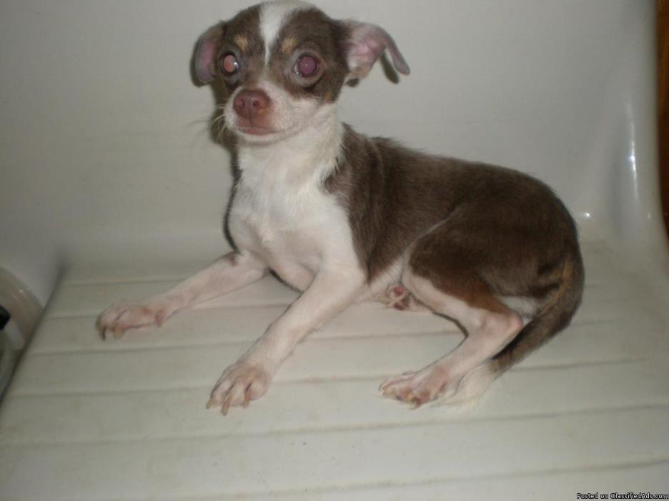 Chihuahua In Need Of A Home