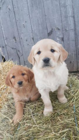 REGISTERED PURBREED GOLDEN RETRIEVER PUPPIES