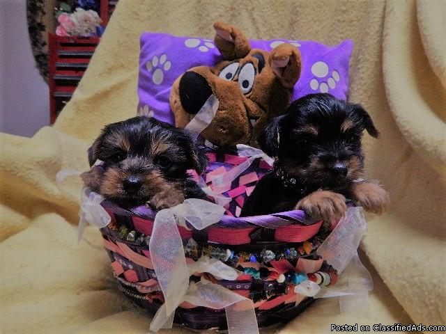 AKC-REG pure bred Yorkshire terrier puppies
