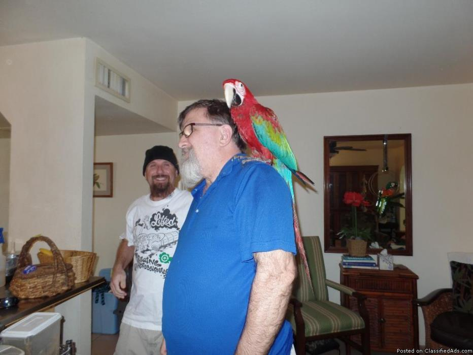 Sweet Green Wing Macaw Parrots For Good Family.