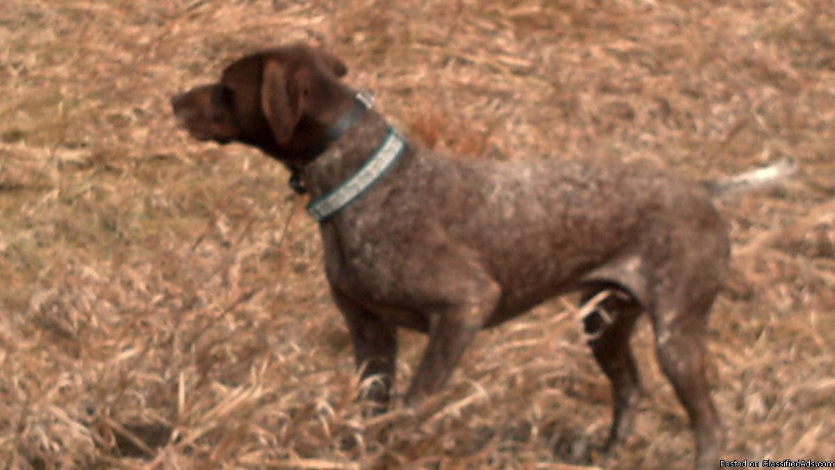 German shorthair pups reg