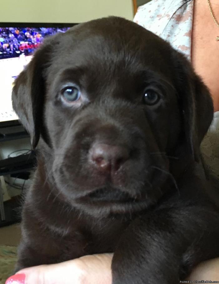 Purebred lab puppies
