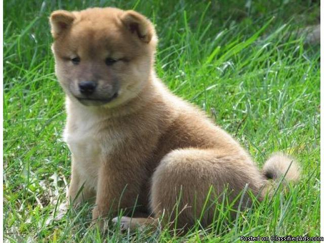 socialized and well tamed Shiba Inu puppies