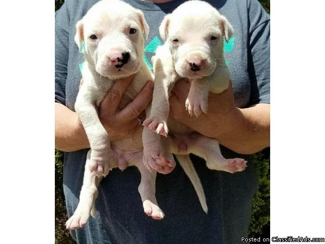 Championbred litter Dogo Argentino puppies for sale