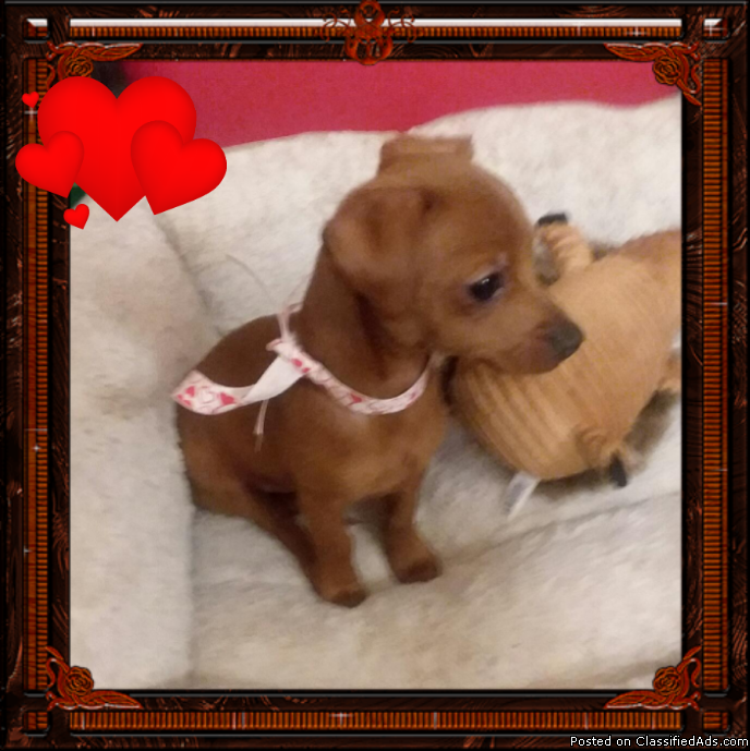 Adorable 10wk Purebred Red Dachshund