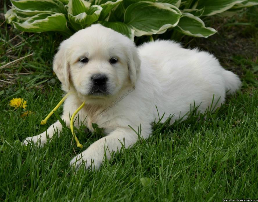 English Cream Golden Retriever Male Puppy (Ready 5/09/2017)