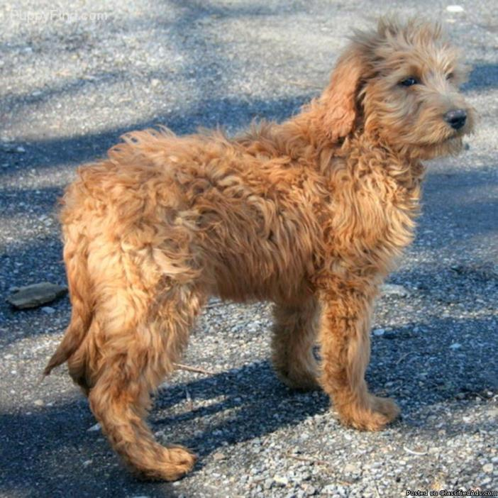 female f1 red golden doodle