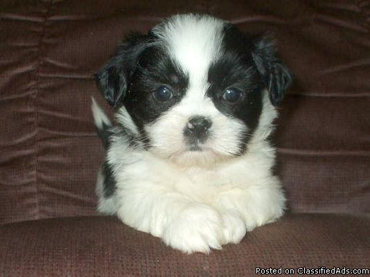 Absolutely Stunning SHIH TZU Puppies!
