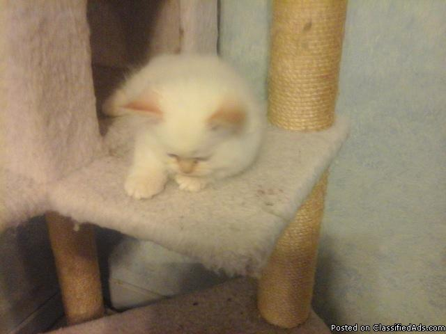 Persian or himalayans kitten conn  - Moosup, CT - $550