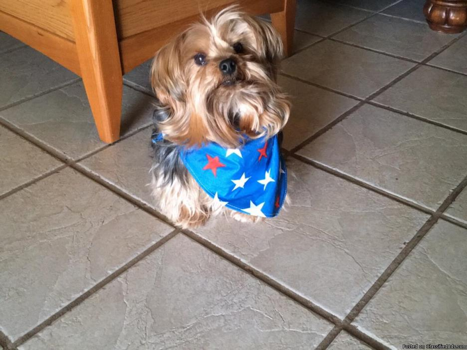 Yorkie, mature and completely trained