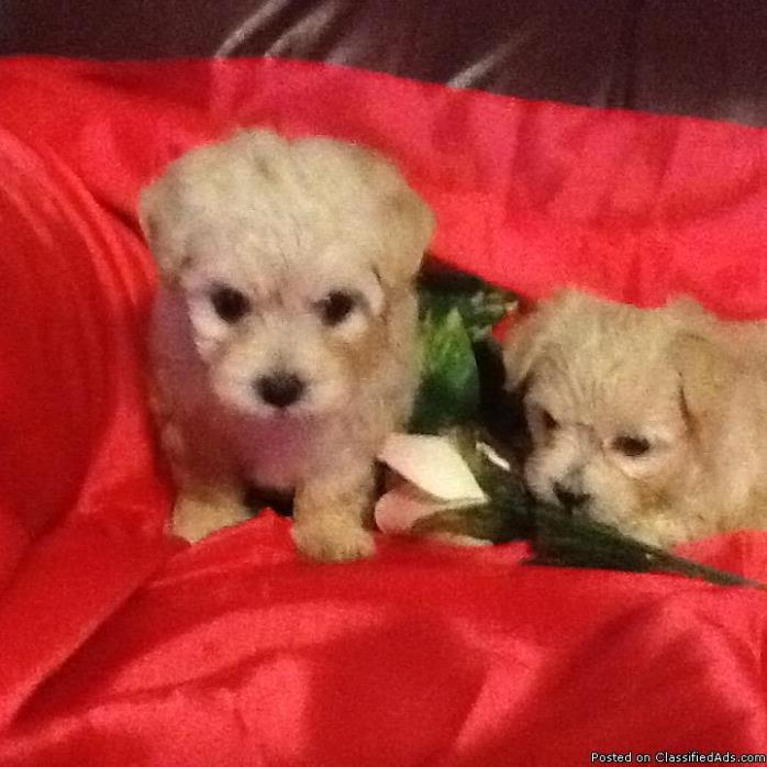 2 Female Maltese Puppies for sale
