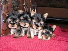 adorable well trained yorkie puppies seek new homes