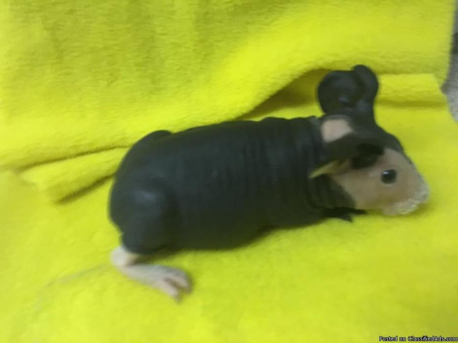 Black and White Hairless Guinea Pig Boar