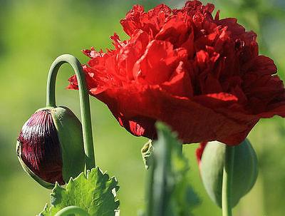 Red Ruffled Oriental Poppy Flower seeds/Papaver Orientale  200 seeds per pack!