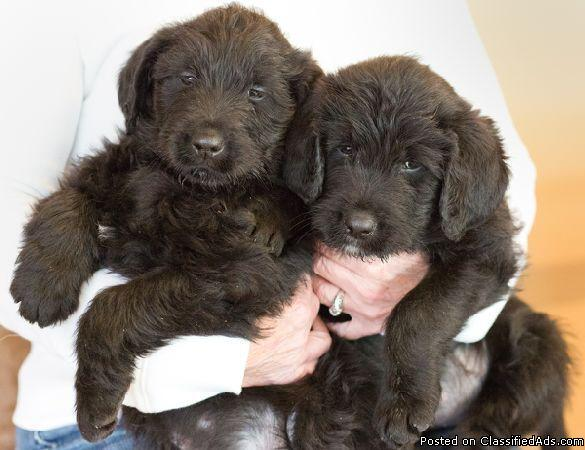 Labradoodle and Golden Labradoodle Puppies