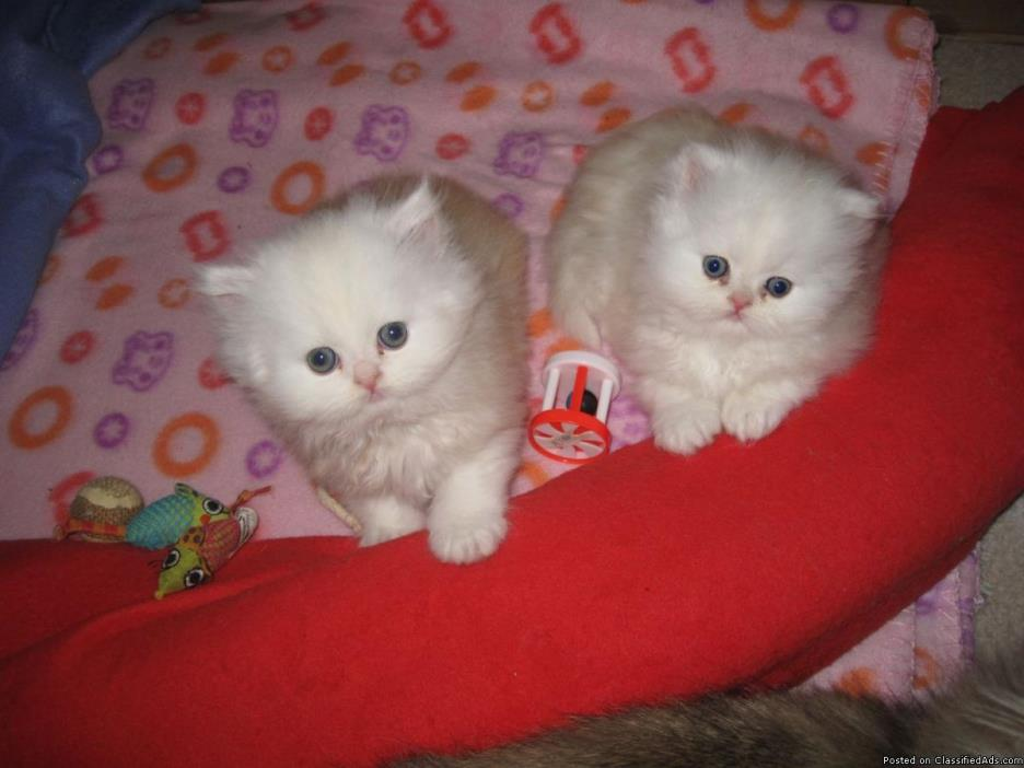 Persian Kittens (White)