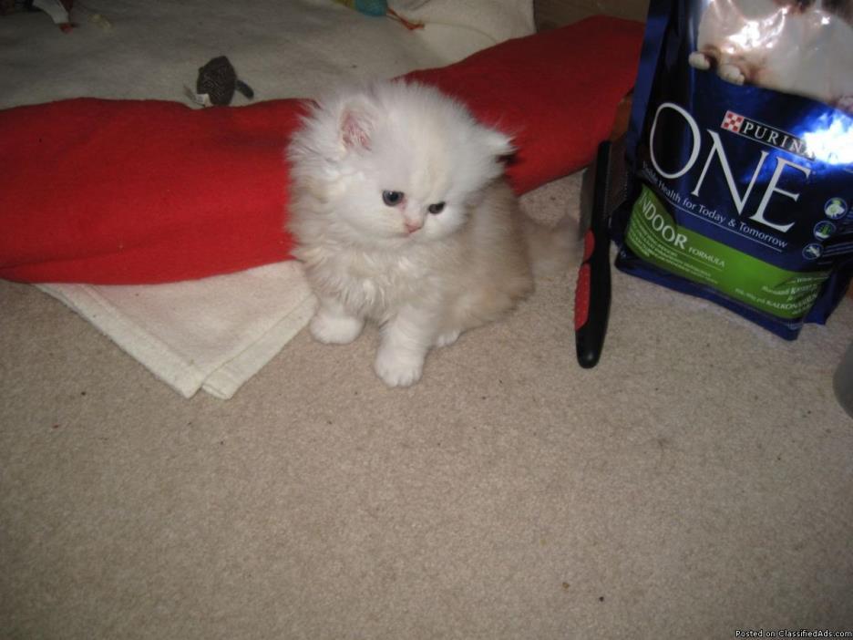 Persian Kittens (White)