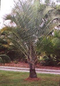 Nice Big Palm Trees