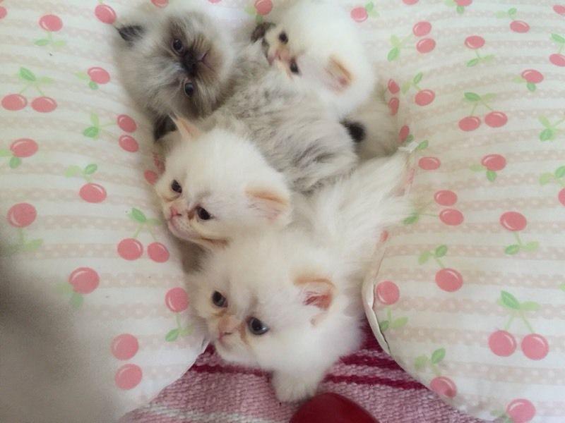 Beautiful Himilayan Kittens