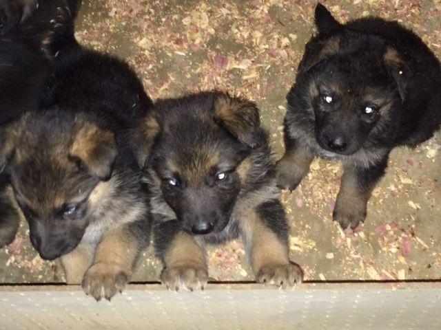 AKC German Shepard puppies