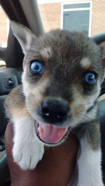 Husky Mix Pup, 8 weeks old