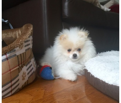 AHDGET Purebred Pomeranian puppies available