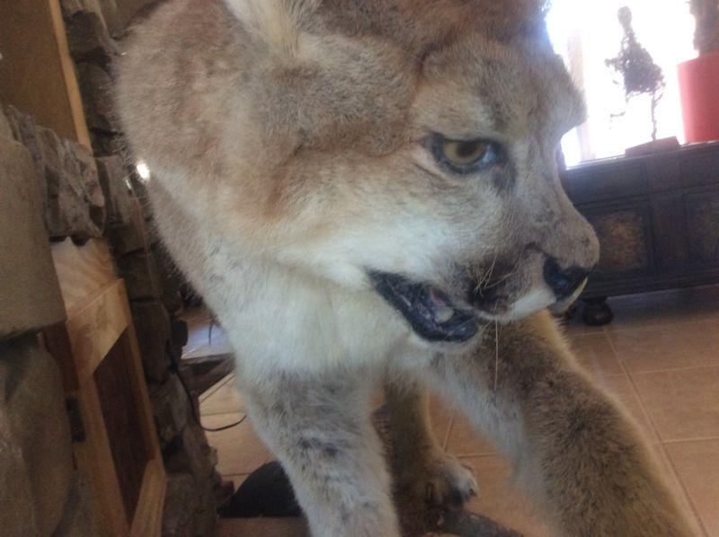 Mountain Lion, Cougar, Puma, Taxidermy