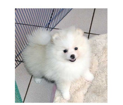 QSWEF AKC registered male and female Pomeranian Puppies for adoption