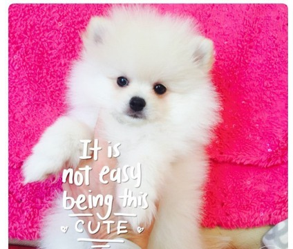 WEDFT Purebred Pomeranian Puppies ready to leave now