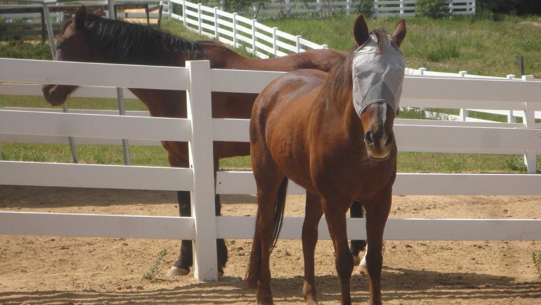 Adopt Misty a Chestnut/Sorrel Quarterhorse / Morgan horse in Simi Valley