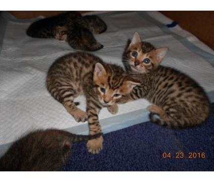 female pure bred bengal kitten