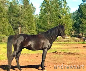 Black Arabian Stallion standing to Approved mares Cameo Addis Jubaliee AJ