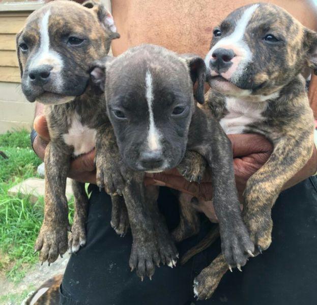 Adorable Pitbull pups