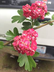 Pink Hawthorn Rosea Flore Pleno Tree (S Hill Puyallup)