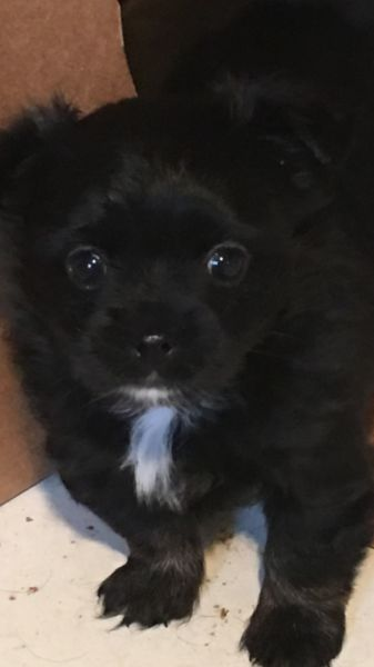 Beautiful CKC Long Hair Chihuahua Puppy