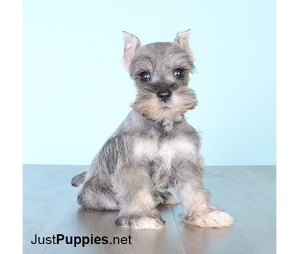 Puppies on Sale - 100% Hypoallergenic