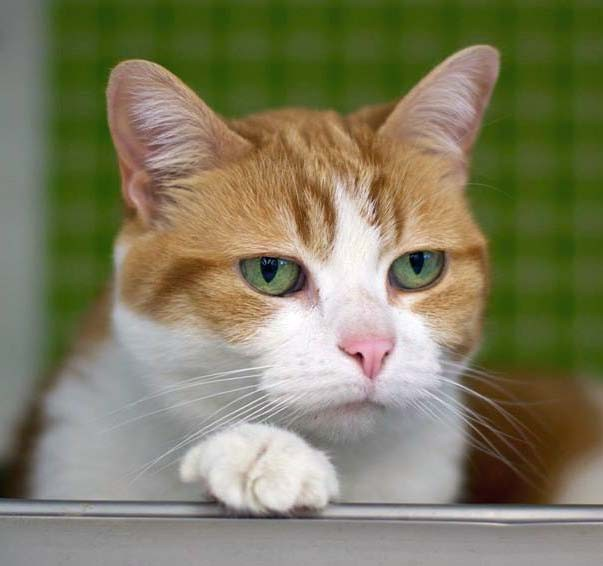 Adopt Precious a Orange or Red Tabby Domestic Shorthair (short coat) cat in