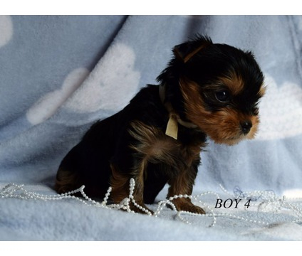 ddcd Tiny Teacup Yorkie puppies ready for sale