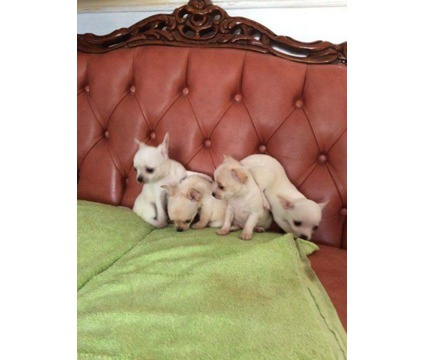 dsfd cute Teacup Chihuahua puppies ready for sale