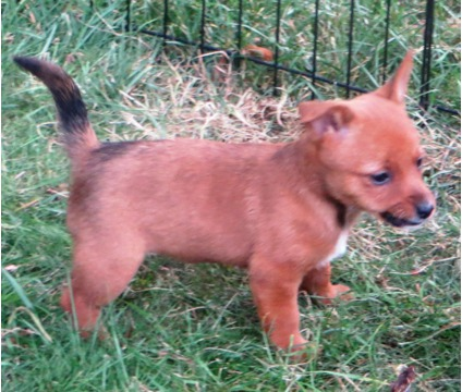 ds### Adorable Portuguese Podengo puppies ready for sale