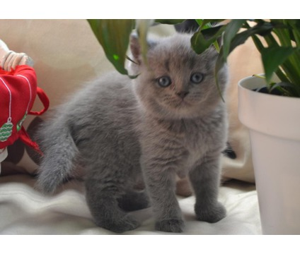Lovable and attractive Scottish fold kittend very Amazing